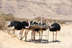 African ostrich Stock Photo