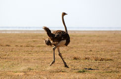 African ostrich Stock Images