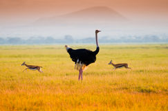 African Ostrich. With antilope in Amboseli Royalty Free Stock Photos