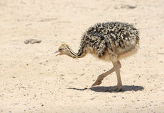 African ostrich chick Stock Photography