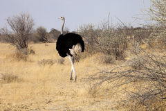 African ostrich with chicks, Etosha National Park, Namibia Stock Images