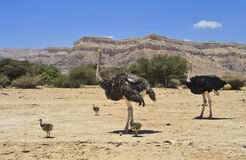 African ostrich with chicks, Israel Royalty Free Stock Photos