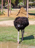African ostrich drink the water Royalty Free Stock Images