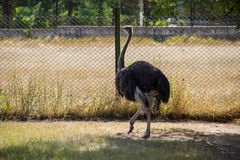 African ostrich on the farm. Yard Royalty Free Stock Photo