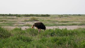 African Ostrich Grazing In The Pasture Looking Around In Search Of Danger. Ostrich grazing in a pasture in the African plain. Raises his head and looks around in stock video
