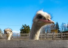 The African ostrich head closeup on blue sky background. Royalty Free Stock Image