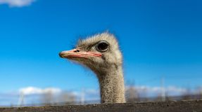 The African ostrich head closeup on blue sky background. Stock Image