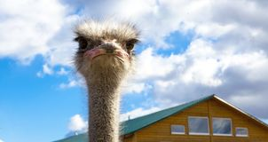 The African ostrich head closeup on blue sky background. Stock Photo