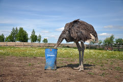 African ostrich hiding its head in the sand Royalty Free Stock Images