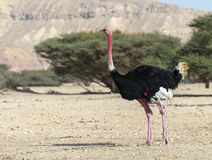 Free African Ostrich In Nature Reserve Royalty Free Stock Photos - 37514938