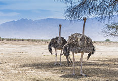 African ostrich   in Israeli nature reserve. The shot was taken in Hai Bar nature reserve, Israel, 35 km from Eilat Stock Photography
