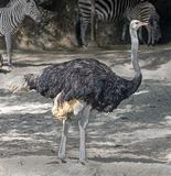 African ostrich 5 Royalty Free Stock Image