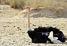 African ostrich nature reserve, Israel Stock Image