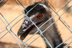 African Ostrich. Royalty Free Stock Images