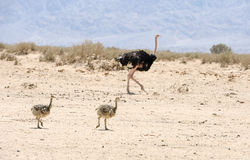 African ostrich and ostrich chick Stock Photo