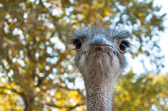 The African Ostrich Royalty Free Stock Photos