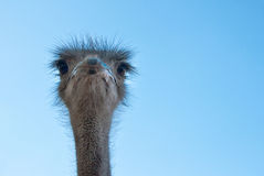 The African Ostrich Stock Image