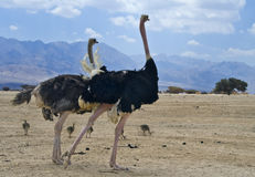 African ostrich (Struthio camelus) with chick Royalty Free Stock Images