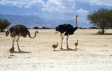 African ostrich (Struthio camelus) with chicks Royalty Free Stock Image