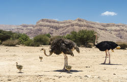 African ostrich Struthio camelus Stock Photo