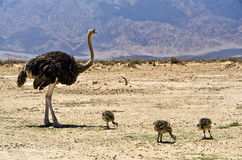 African ostrich (Struthio camelus), Israel Royalty Free Stock Images