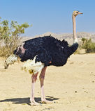 African ostrich (Struthio camelus), Israel Stock Images