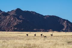 African Ostrich, Struthio camelus in Sossusvlei, Namibia. Africa stock images