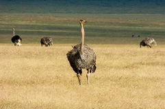 An african Ostrich in Tanzania. Staring royalty free stock images