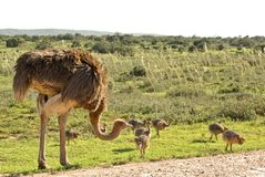 African ostrich with young chickens while safari. African ostrich with young chickens on safari road in nantional park reserve in south africa Stock Photo
