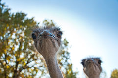 The African Ostrichses. Two African Ostriches Struthio camelus on blue sky background Stock Photography