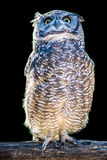 African owl Stock Images
