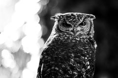 African owl black and white animals portraits. African owl - black and white animals portraits stock images