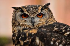 African Owl Royalty Free Stock Image