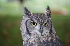 African Owl Stock Photo