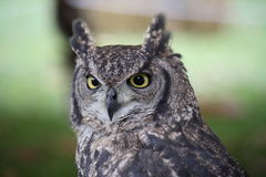 An African Owl Royalty Free Stock Photography