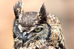 African owl. Before a flying show Royalty Free Stock Image