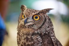 African owl portrait royalty free stock photography