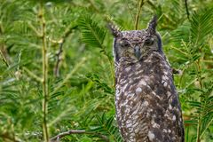 African Owl stock photography