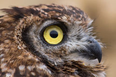 African Owl Profile Royalty Free Stock Photography