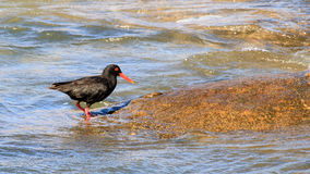 African Oyster Catcher Stock Image