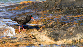 African Oyster Catcher Royalty Free Stock Photo