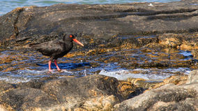 African Oyster Catcher Stock Photography