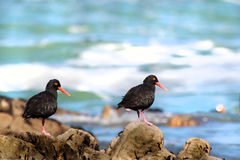 African oyster catcher Royalty Free Stock Images