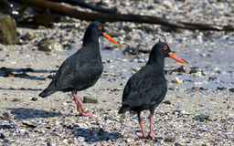 African oystercatcher Royalty Free Stock Photos