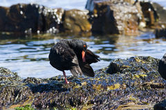 African oystercatcher Royalty Free Stock Photo