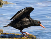 African oystercatcher Stock Photos