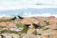 African Oystercatcher - Robberg Peninsula Nature Reserve, South Africa. The African oystercatcher or African black oystercatcher, is a large charismatic wader royalty free stock image