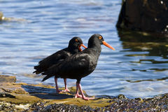 African oystercatchers Royalty Free Stock Photos