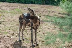 An African Painted Dog, alert and in profile royalty free stock photography