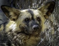 African Painted Dog stock photography